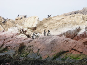 Photo: Islas Ballestas, Humboldtpinguine