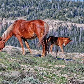Springtime in the Pryors by Twin Wranglers Baker - Animals Horses (  )