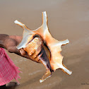 Chiragra spider conch shell