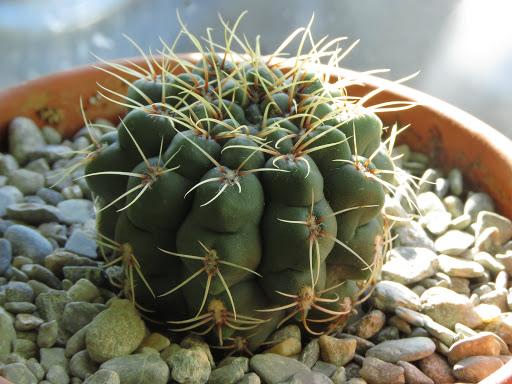 Mes petites plantes grasses et cactées - Page 4 HlNeMI50ERUzIUfcCqr_WPHaNfIxEzZopG6Curv8czBKjX_eD1NrQ1j8sPcMa2Ywr_B34xRyJneZVJxA_hlZliTePeTce_QUx6HqnjIVn98tH8hBd4ia_Kq__QYlRk76RfNPAJCKGrg