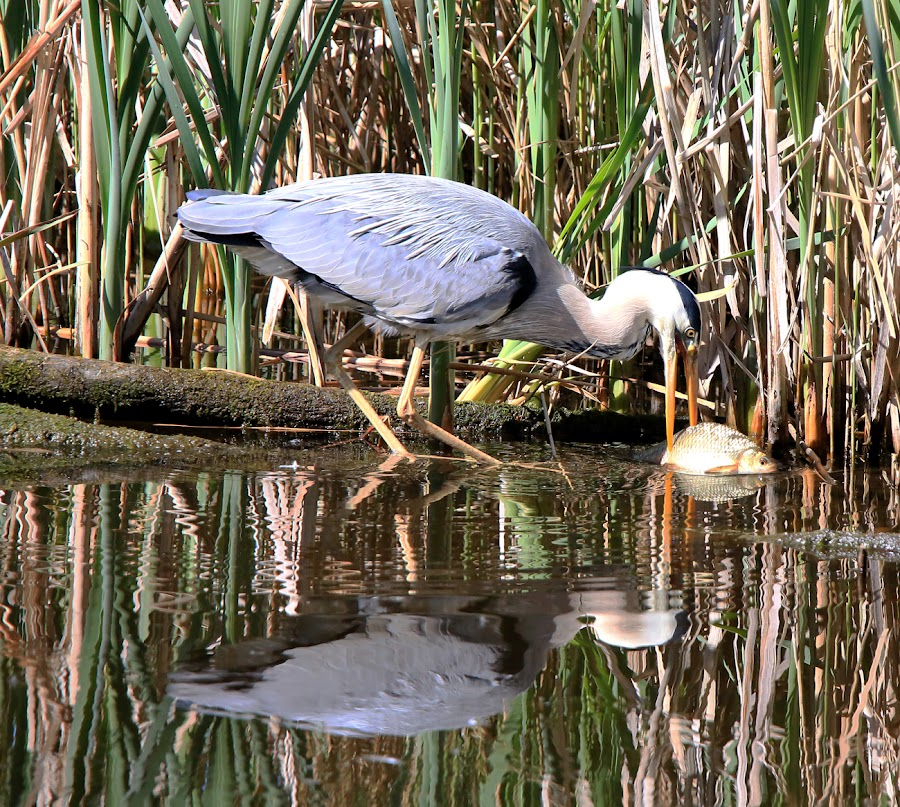 Lunchtime! by Dave Roberts - Animals Birds ( fishing birds, birds, heron )