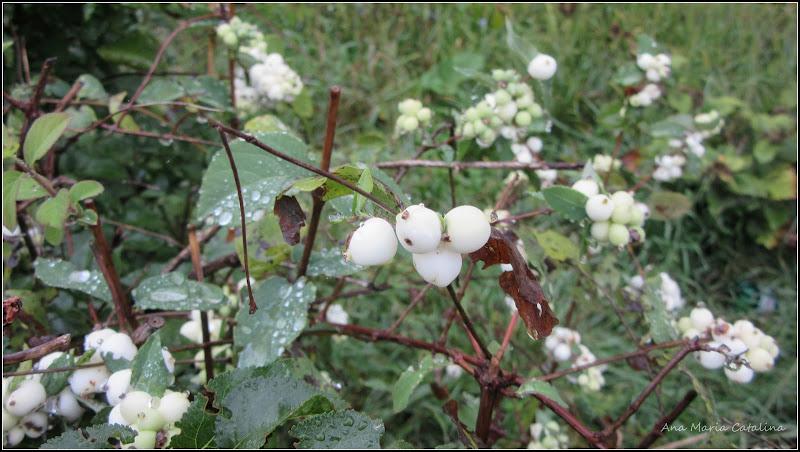 Photo: Hurmuz alb (Symphoricarpos albus) - 2015.09.11 de pe Calea Victoriei, parc Mr.1 album http://ana-maria-catalina.blogspot.ro/2016/05/hurmuz-alb-symphoricarpos-albus.html