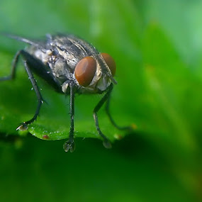Fly 2 by HeRy Zal - Animals Insects & Spiders