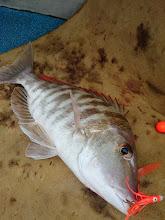 Photo: フエフキキャッチ! ・・・この魚、ジギングでも餌釣りでも よく登場します。