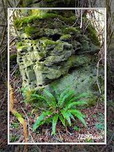 Photo: Scolopendre, Phyllitis scolopendrium