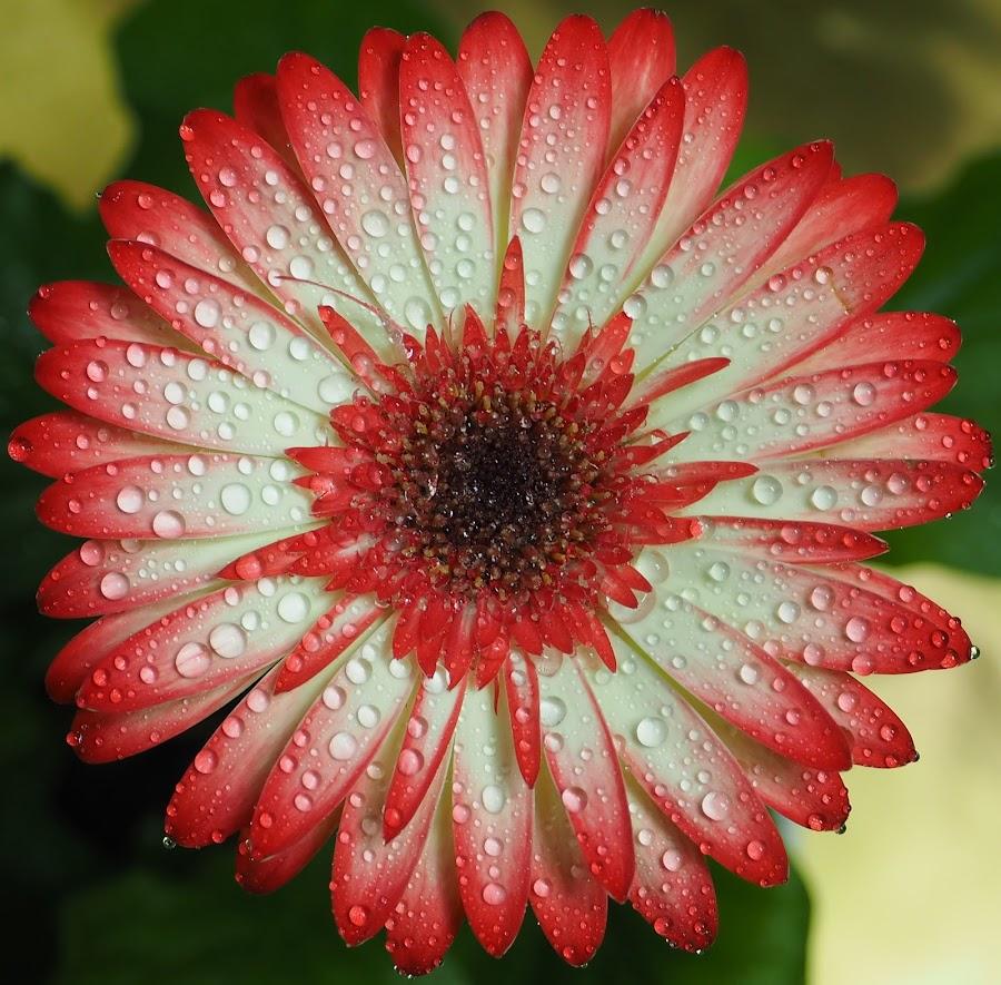 Gerbera Splashed by Gillian James - Flowers Single Flower ( water, water drops, red tipped gerbera, pot plant, gerber )