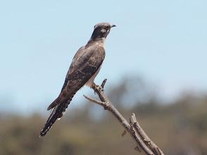 Photo: Pallid Cuckoo