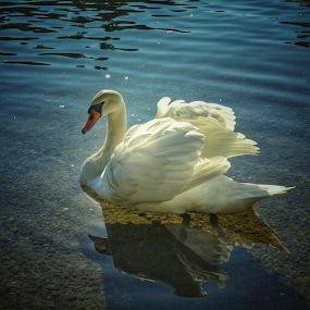 Like a Prince of the river by Oliver Švob - Instagram & Mobile Android ( sony, water, bird, korana, europe, karlovac, nature, croatia, swan, hrvatska, river,  )