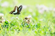 Photo: 空色の翅 Sky blue wings.  ひらひらと舞う 陽射しを浴びながら その翅に透ける 夏の空色  Common Bluebottle. (アオスジアゲハ)  #cooljapan #Insect #nikon #sigma   Nikon D7200 SIGMA APO 50-500mm F5-6.3 DG OS HSM (2枚追加:Added 2 photo)