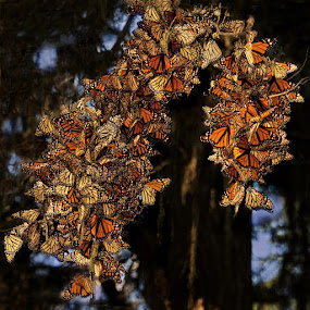 Monarchs of Pacific Grove by Clyde Smith - Animals Insects & Spiders (  )