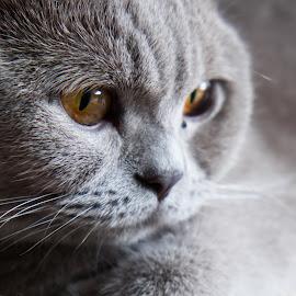 Britih shortair by Alessandro Conti - Animals - Cats Portraits ( fuji x, cat, x-e2, portrait, britishshortair, animal,  )