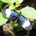 Sapho longwing butterfly