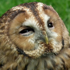 by Monika Wierzbicka - Animals Birds ( animals, nature, birds, owls )