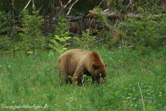 Photo: Cinnamon Black Bear