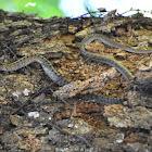 Taiwan Kukri Snake