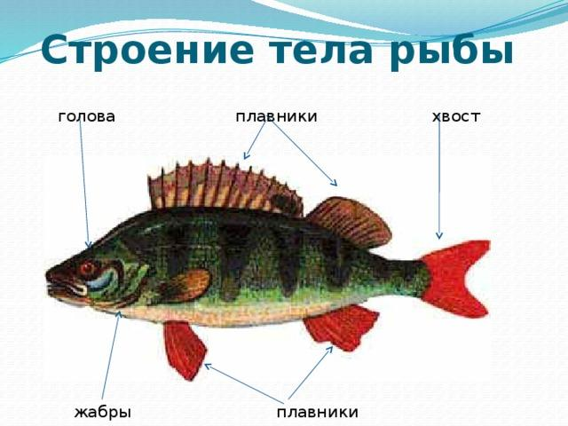 Image result for рисунок рыбы по биологии