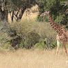 Masai giraffe, Maasai giraffe, Kilimanjaro giraffe