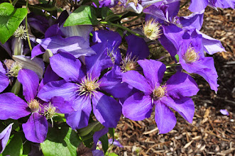 Photo: Clematis 'Ascotiensis' 2