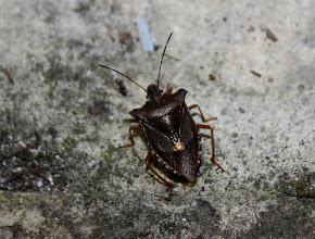 Photo: Pentatoma rufipes  Heteroptera  > Pentatomidae