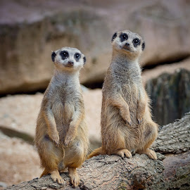 Guardians by Jiri Cetkovsky - Animals Other ( two, zoo, suricata, guardian, standing )