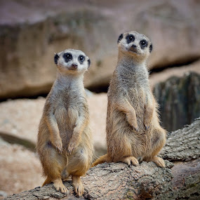 Guardians by Jiri Cetkovsky - Animals Other ( two, zoo, suricata, guardian, standing )