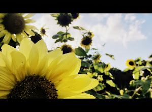 Photo: Cinemascape photo of sunflowers at Cox Arboretum and Gardens of Five Rivers Metroparks in Dayton, Ohio.