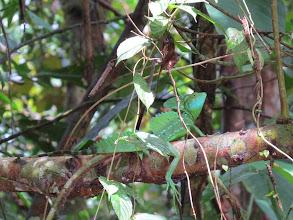 Photo: Green iguana