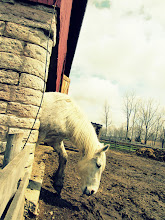 Photo: Creamy flea-bitten grey horse emerging from a barn at Carriage Hill Metropark in Dayton, Ohio.