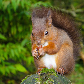 Red Squirrel by Dave Tucker - Animals Other Mammals ( red squirrel eating nut north yorkshire )