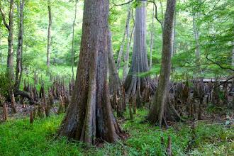 Photo: Beautiful Cypress Tree Swamp