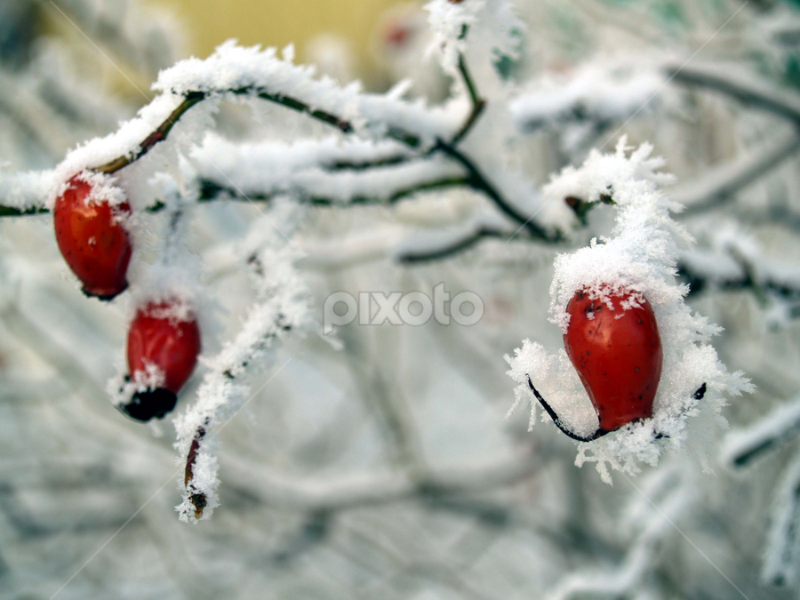 Red fruits in snow by Jakub Juszyński - Nature Up Close Other plants ( fruit, winter, red, cold, bushes, snow )