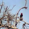 Black-billed Barbet