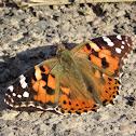 Vanessa cardui, butterfly. Mariposa