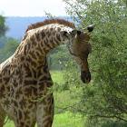 Masaai giraffe