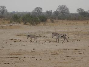 Photo: A baby zebra!