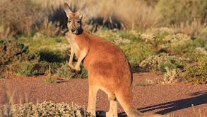 Desert Of The Red Kangaroo thumbnail