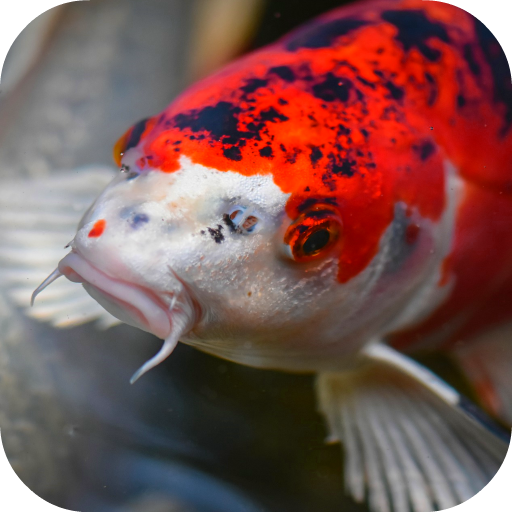 Japanese Koi Fish Wallpaper Apps On Google Play