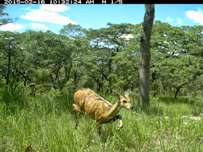 Photo: Young male bushbuck; Jovem golungo macho.