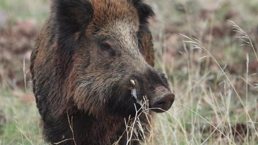 Estos animales están en un área de entre 36.000 y 124.000km², en entornos de los que no son nativos.