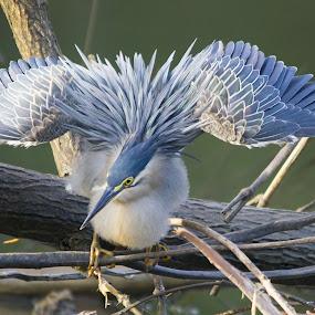 Striated Heron by Vijayendra Desai - Animals Birds