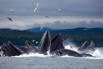 Photo: Whales Bubble Feeding near Juneau, AK