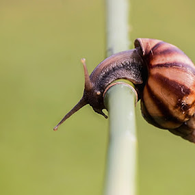 Snail by Brothers Photography - Animals Other ( shell, gastropoda, animalia, snail, mollusca, animal,  )