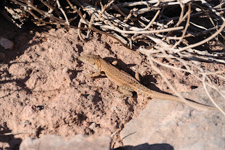 Photo: One of the many lizards sunning themselves along the trail