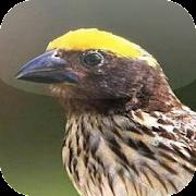 Unduh 94+  Gambar Burung Manyar HD Paling Unik Free