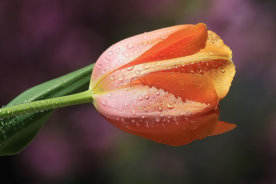 ONLY YOU by Giovanna Pagliai - Flowers Flower Buds ( life, tulip orange, sunny, drops, beauty, yellow, bud )