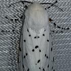 Salt marsh moth life cycle