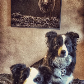 Rustic BCs by Karl Bolser - Animals - Dogs Portraits