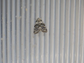 Photo: 18 Jul 13 Priorslee Lake: What a beauty! Well a Marbled Beauty moth actually. Well-named. (Ed Wilson)