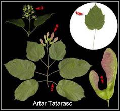 Photo: Artar Tatarasc  info de pe net http://forum-discutii.apiardeal.ro/index.php?topic=3792.0