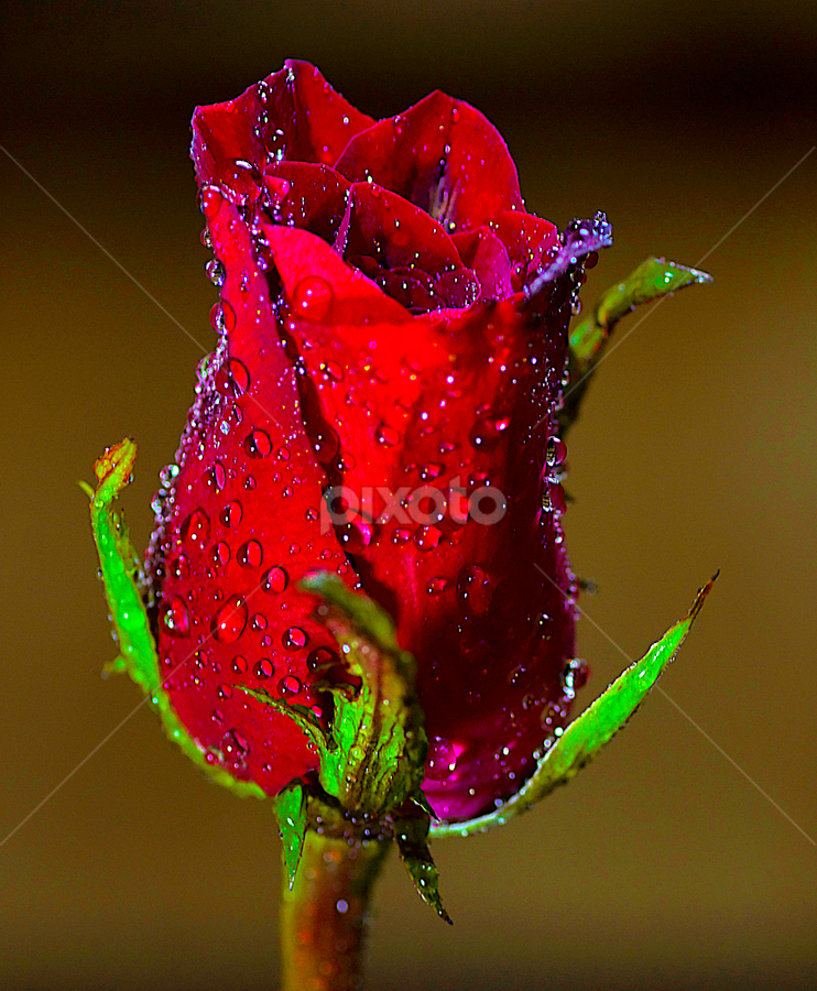 by Ajar Setiadi - Nature Up Close Flowers - 2011-2013 ( , red, green )